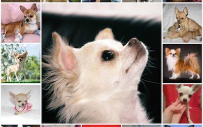Варианты кличек для собак чихуахуа, имена для мальчиков, как выбрать собаке имя.