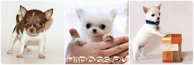 Продолжительность жизни собачк чихуахуа, уход и здоровье собаки.