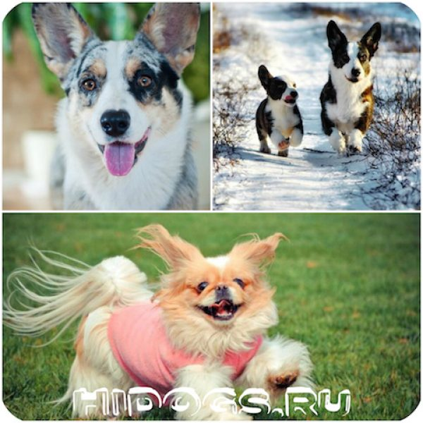 Маленькие собаки с короткими лапами, миниатюрные, коротколапые собаки с фото и кратким описанием породы.
