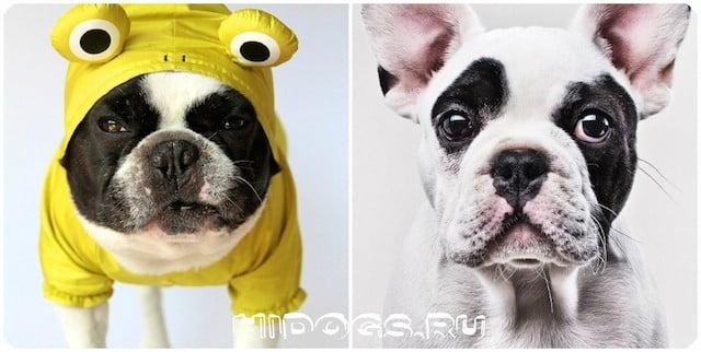 Маленькие гладкошерстные собаки, топ пород с кратким описанием и фото.