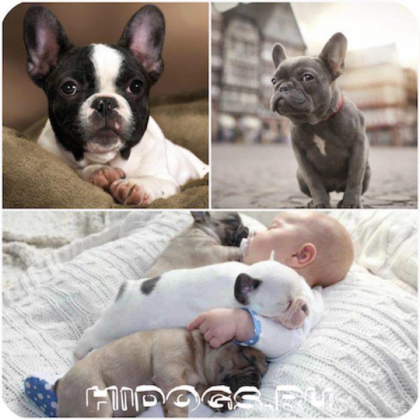 Французский бульдог: продолжительность жизни, здоровье, уход за собакой.
