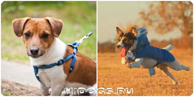 Одежда для собак породы Джек рассел терьер, какая бывает, стот ли одевать, какую необходимо преобретать.