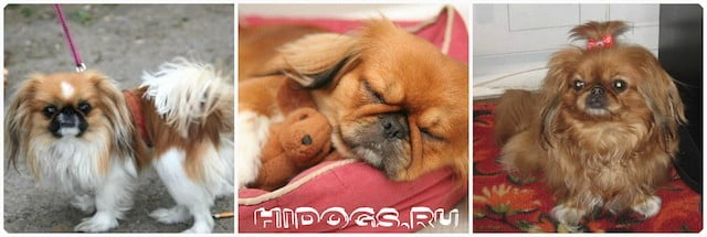 Королевский пекинес: особенности характера и ухода за собакой.