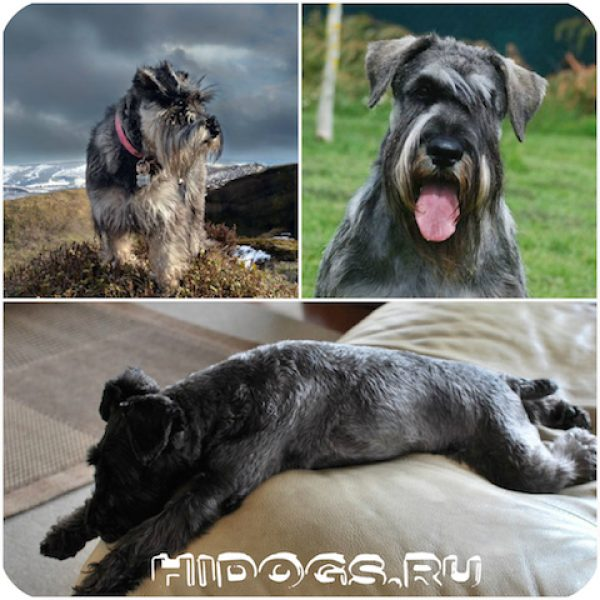 Все о породе собак цвергшнауцер: особенности, щенки цвергшнауцера, уход, характре, выбор щенка.