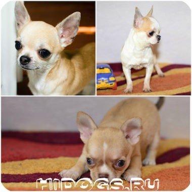 Типы собак чихуахуа, какие бывают, описание видов.