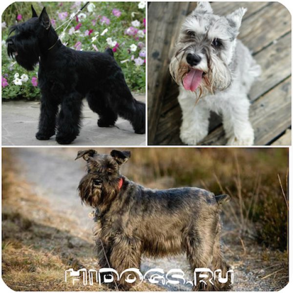 Все о породе собак цвергшнауцер: особенности, щенки цвергшнауцера, уход, характре, выбор щенка