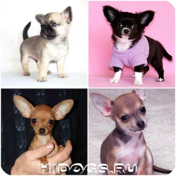 Маленькие породы гладкошерстных собак, что нужно знать, особенности ухода и содержания. Плюсы и минусы.
