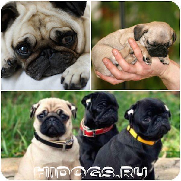 Особенности характера и темперамента, собак породы мопс, что нужно знать о мопсе