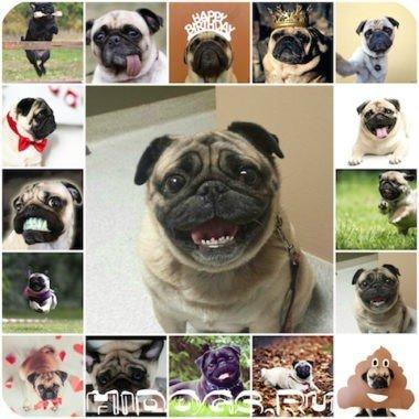 Особенности характера и темперамента, собак породы мопс, что нужно знать о мопсе.