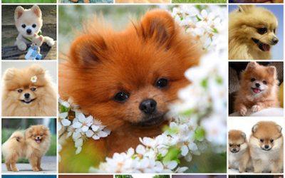 Померанский шпиц: как и чем правильно кормить собаку, особенности питания немецких мини шпицев.