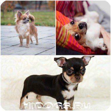Купание собак чихуахуа: как правильно мыть, частота купания собаки, чт необходимо.