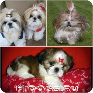 Правильное питание собак породы ши тцу: чем и как кормить собаку, питание собак от щенка до взрослой собаки.