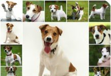 Кормление щенков джек рассел терьера, правильные рацион для собаки, натуральное питание и готовые корма - что выбрать.