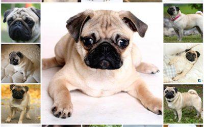 Правильное питание для щенков мопса, сбалансированный корм и натуральная еда, как и чем кормить собаку.