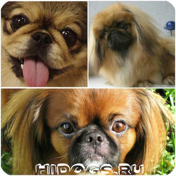 Питание собаки породы пекинес: чем кормить щенка, правильное питание для собаки.