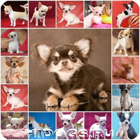 Кикие виды и типы собак породы чихуахуа бывают, красткое описание видов чихуахуа, особенности.