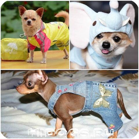 Одежда для собак чихуахуа своими руками: как сшить, выкройки