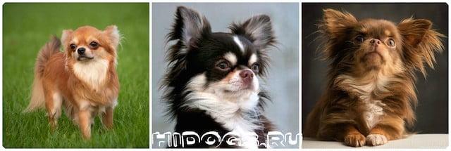 Вакцинация собак породы чихуахуа, когда делать прививки чихуахуа, график факцинации для собаки.