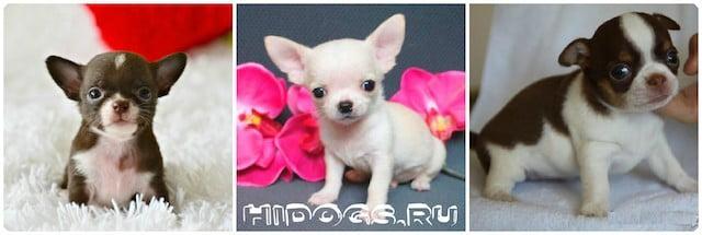 Плюсы и минусы породы собак чихуахуа, что нужно знать о породе перед приобретением щенка, характер и особенности чихуахуа.