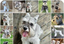 Как и чем правильно кормить собак породы Цвергшнауцер: рекомендации по подбору питания.