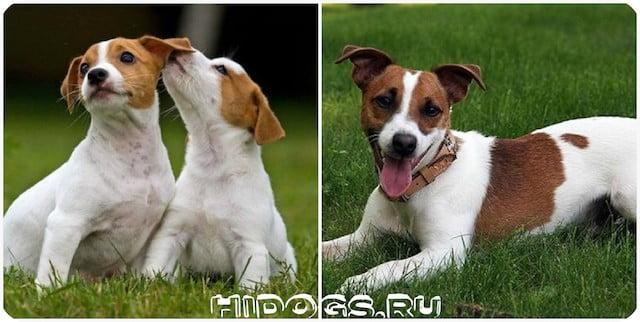 Особенности ухода и содержания, за собакой породы джек рассел терьер: питание, уход за шерстьью, дресировка.