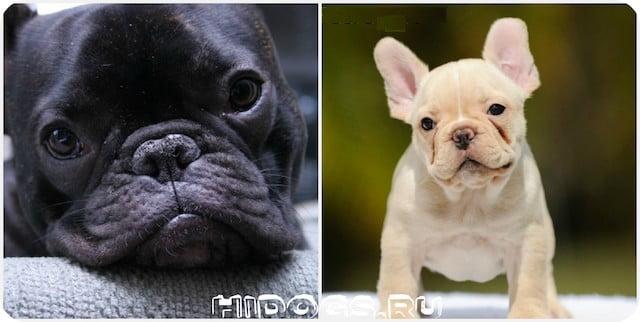 Уход и содержания за французским бульдогом, особенности содержания собаки, гигиена, уход за шерстью, здоровье собаки.
