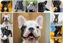 Основы правильного и сбалансированного питания для щенков французских бульдогов, чем кормить собаку, натуральное питание и сухой корм все плючы и минусы.