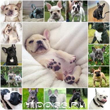 Как назвать французского бульдого, клички для собак мальчиков, как выбрать хорошее имя собаке.