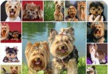 Какие прививки необходимо делать йоркширскому терьеру, в каком возрасте положенно делать вакцинацию, график прививок для собаки.