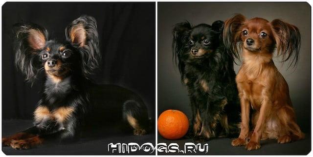 Продолжительность жизни русских той терьеров, особенности содержания, здоровье собаки.