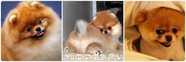 Стандарт породы померанского шпица, особенности содержания, воспитания, внешний вид и характеристики собаки по стандарту.
