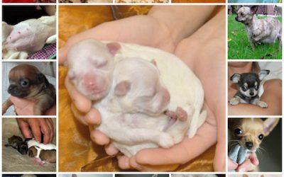 Все о родах собак чихуахуа, как принимать, что подготовить, о чем следует знать.