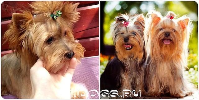 Виды собак породы йоркширский терьер, особенности и характеристики всех типов.