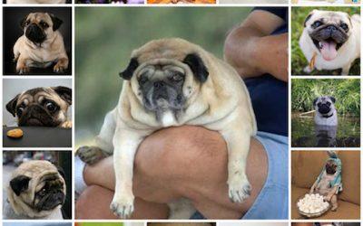 Все о весе мопса, сколько должен набирать, положенный вес в приделах нормы, излишний вес и ожирение собаки.