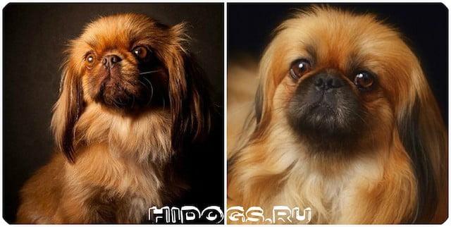 Особенности ухода и продолжительность жизни, собак породы пекинес, что нужно знать о собаке, как продлить жизнь любимцу.
