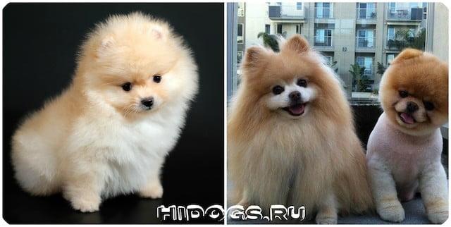Характер собак породы померанский шпиц, особенности.