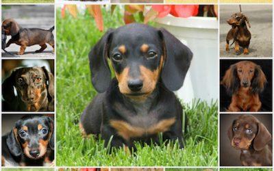 Характер собаки породы такса, особенности темперамента, воспитание, все о способностях таксы.