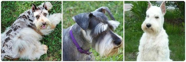 Уход за шерстью цвергшнауцеров, стрижка и тримминг собаки.
