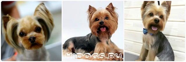 Виды стрижек для йоркширского терьера, груминг собаки в салоне и дома, как ухаживать за шерстью собаки.