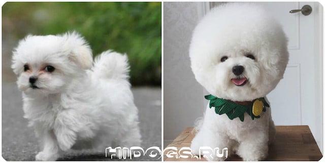карликовые породы собак для содержания в квартире топ пород
