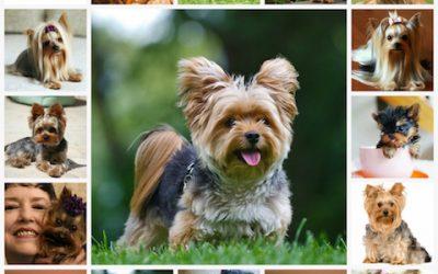 Рост и вес йоркширского терьера, стандарт породы, таблица веса собаки.