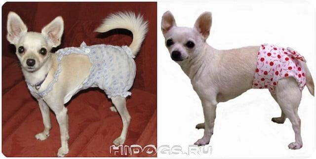 Течка у собак чихуахуа, как проходит, длительность, уход, когда начинается.