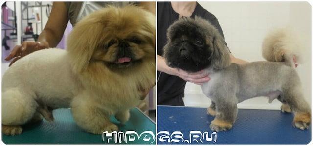 Когда необходима стрижка для пекинеса, самые популярняе стрижки для собаки, как самостоятельно ухаживать за шерстью животного.