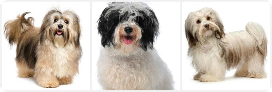 Гавайский бишон - порода собак