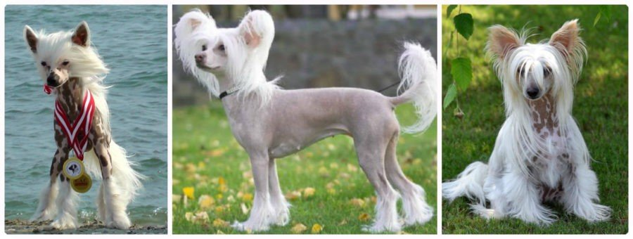 Китайская хохлатая собака, описание