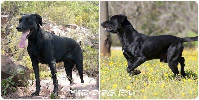 Майоркские овчарки - описание породы, особенности характера и ухода за собакой.