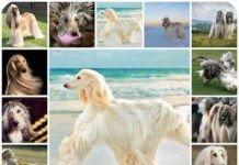 Особенности характера и воспитания собак породы Афганская борзая, здоровье, история происхождения, отзывы владельцев.