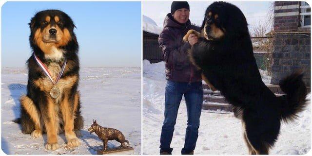 Особенности Монгольских овчарок, писание породы, характер, особеннсти ухода.