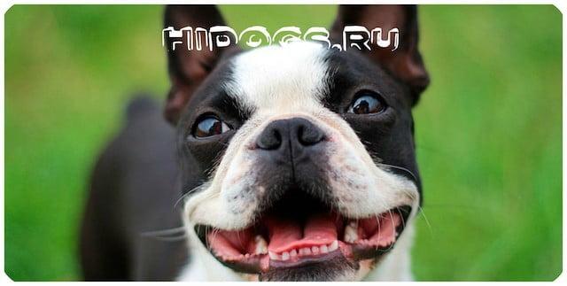 Описание стандарта и породы собаки бостон терьер, особенности характера и уход.