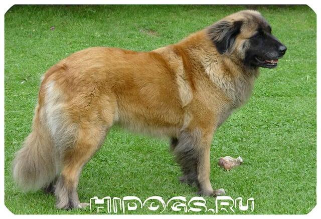 Эштрельские португальские овчарки - описание породы, особенность содержания, уход, характер и воспитание пса - охранника.